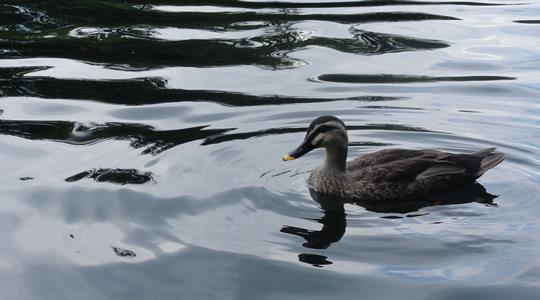 雲場池の鴨