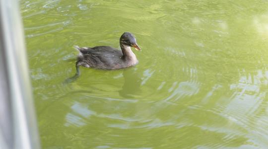 塩沢湖の水鳥の雛?