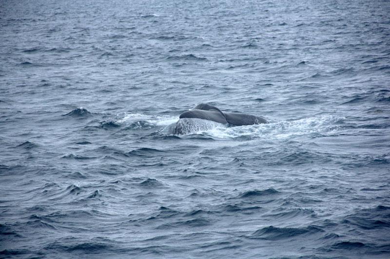 潜るマッコウクジラ