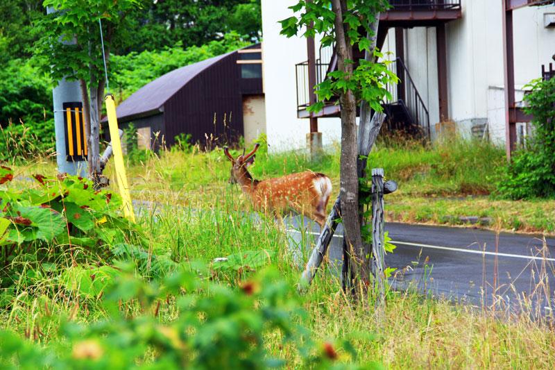 野生の鹿(シカ)_知床