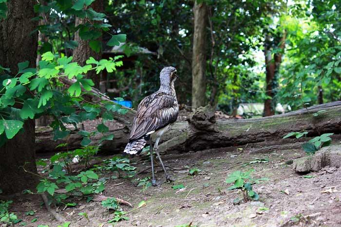 野鳥の森_オーストラリアイシチドリ_2
