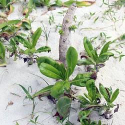 コンドイビーチの植物